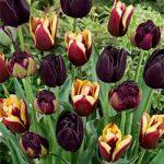 Black Blend Tulips – 24 bulbs