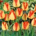 American Dream Darwin Hybrid Tulip – 10 bulbs