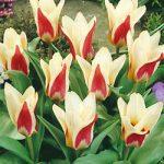 Ancilla Kaufmanniana Tulip – 10 bulbs