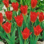 Scarlet Baby Kaufmanniana Tulip – 10 bulbs