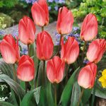 Sweet Lady Greigii Tulip – 10 bulbs