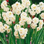 Cheerfulness Tazetta Daffodil – 10 bulbs