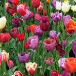 Mixed Tulips – 10 bulbs