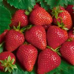Chandler Junebearer Strawberry Plants – 10 root divisions