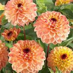 Yellow Jill Decorative Dahlia – 3 root divisions