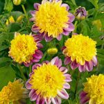 Boogie Woogie Anemone Dahlia – 3 root divisions