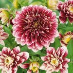 Pole Position Anemone Dahlia – 3 root divisions