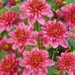 Diamant Rose Anemone Dahlia – 3 root divisions