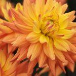 Corona Karma Dahlia – 3 root divisions