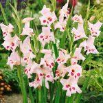 Elvira Hardy Gladiolus – 5 bulbs