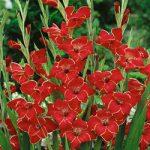 Atom Hardy Gladiolus – 5 bulbs