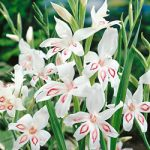 Nymph Hardy Gladiolus – 5 bulbs