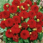 Singer® Gallery Dahlia – 3 root divisions