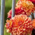 Pablo® Gallery Dahlia – 3 root divisions