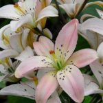 Spring Pink Double Asiatic Lily – 5 bulbs