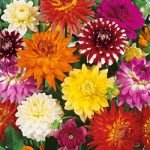 Decorative and Karma Mix Dahlia – 6 root divisions