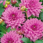 Lilac Time Decorative Dahlia – 3 root divisions