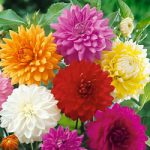 Mixed Dinnerplate Dahlia – 6 root divisions