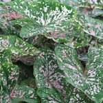 Florida Elise Fancy Leaved Caladium – 3 tubers