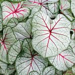 Florida Fantasy Fancy Leaved Caladium – 3 tubers