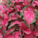 Florida Sweetheart Lance Leaved Caladium – 3 tubers