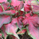 Rosalie Lance Leaved Caladium – 3 tubers