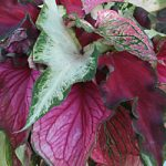 Mixed Lance Leaved Caladiums – 6 tubers