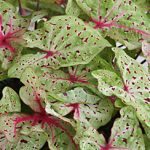 Miss Muffet Lance Leaved Caladium – 3 tubers