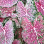 Pink Cloud Fancy Leaved Caladium – 3 tubers