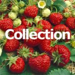 Cold Weather Strawberry Collection – 30 root divisions