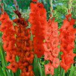 Red Shades Mixed Gladiolus – 25 bulbs