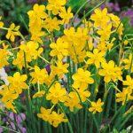 Baby Moon Jonquilla Daffodil – 10 bulbs