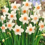 Bell Song Jonquilla Daffodil – 10 bulbs
