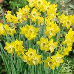 Dickcissel Jonquilla Daffodil – 10 bulbs