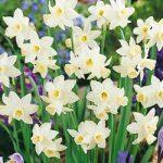 Sailboat Jonquilla Daffodil – 10 bulbs