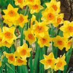 Suzy Jonquilla Daffodil – 10 bulbs