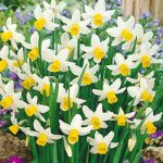 Jack Snipe Cyclamineus Daffodil – 10 bulbs