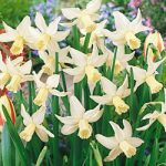 Jenny Cyclamineus Daffodil – 10 bulbs