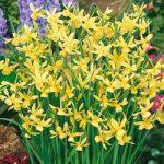 Hawera Triandrus Daffodil – 10 bulbs