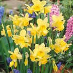 Stint Triandrus Daffodil – 10 bulbs