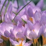 Firefly Species Crocus – 10 bulbs