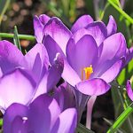 Ruby Giant Species Crocus – 10 bulbs