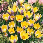 Advance Species Crocus – 10 bulbs