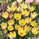 Advance Species Crocus – 10 bulbs