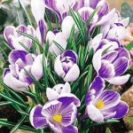 King of the Striped Large Flowering Crocus – 10 bulbs