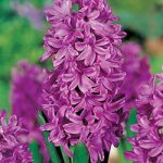 Purple Voice Hyacinth – 10 bulbs