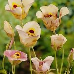 Superbus Calochortus – 10 bulbs