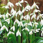 Woronowii Galanthus – 10 bulbs