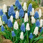Blue and White Magic Muscari – 10 bulbs