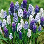 Mixed Muscari – 10 bulbs